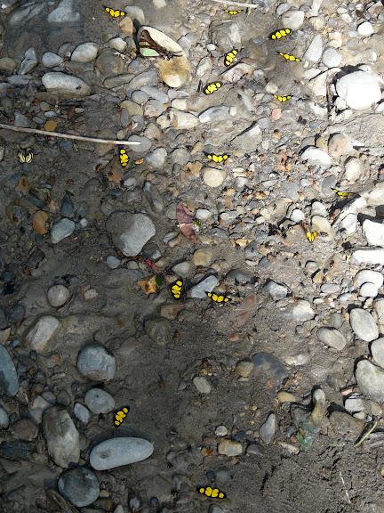 Rassemblement de Cyllopoda jatropharia LINNAEUS, 1758 (Sterrhinae). En haut : Eurytides serville serville GODART, 1824. À gauche : Baeotis staudingeri D'ABRERA, 1994 (Riodinidae). Taipiplaya (alt. 850 m). Bolivie, 18 janvier 2008. Photo : J. F. Christensen
