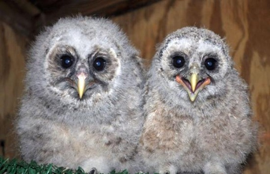 Owl15jpg.img_assist_custom-600x387