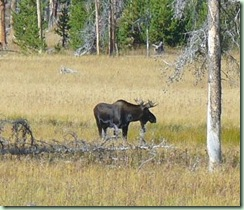 Day15Yellowstone Moose close