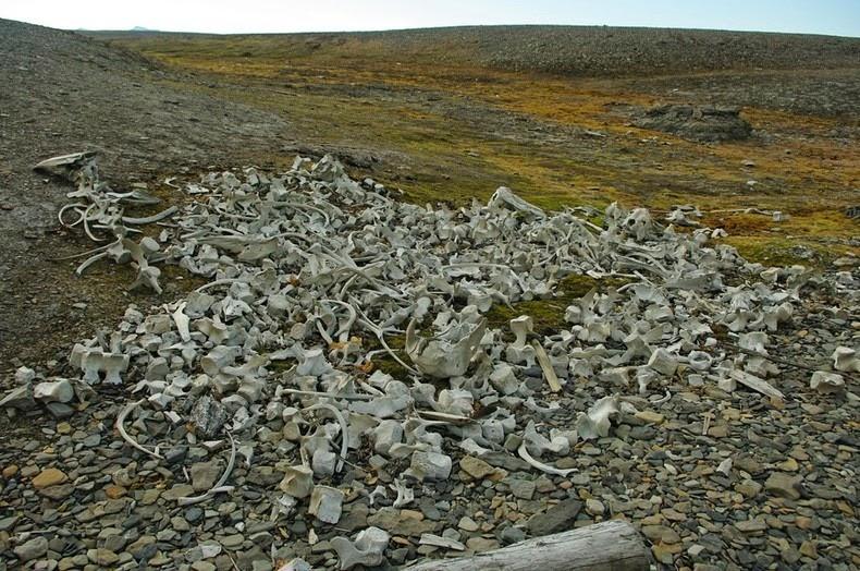 beluga-whale-bones-4