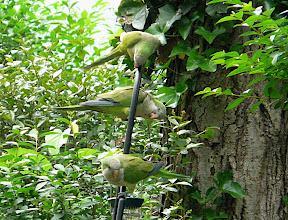 Three of four Monk Parakeets in the yard on June 4, 2011