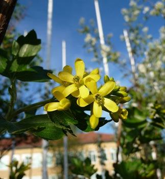 Ribes aureum, gullrips, Daniel Grankvist