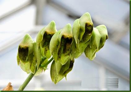 Catasetum macroglossum
