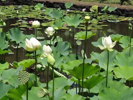 Obiective turistice Mauritius: Flori de lotus