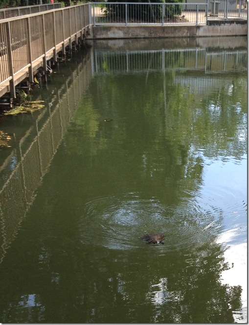 turtles at Howard Springs