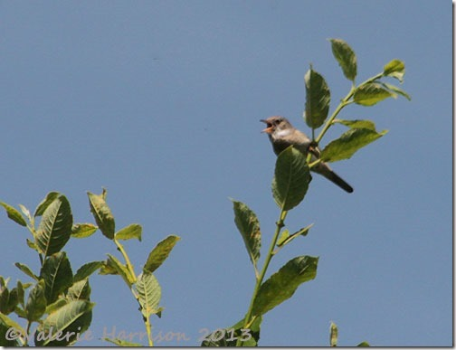 9-whitethroat