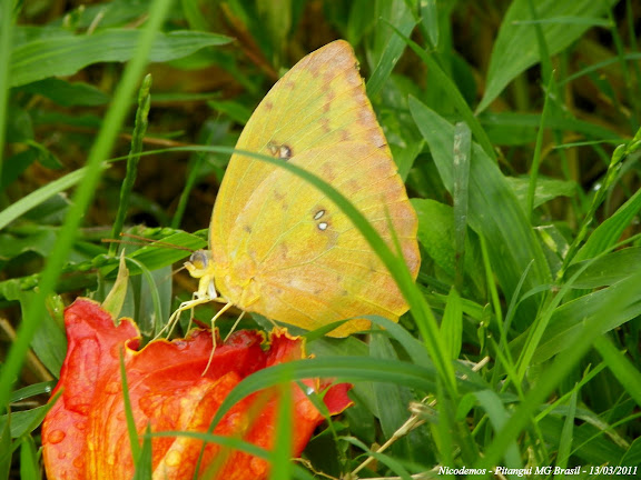 Phoebis sennae marcellina (CRAMER, 1777), femelle. Pitangui (MG, Brésil), 13 mars 2011. Photo : Nicodemos Rosa