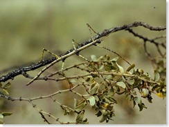 walking-stick-insect_745_600x450