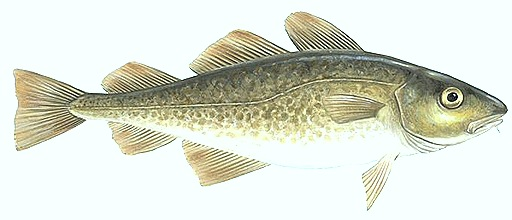 Gadus-cod-fish