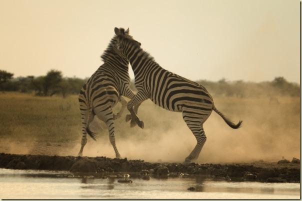 zebrasrearing