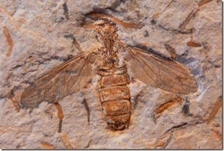 Cretoscolia-brasiliensis