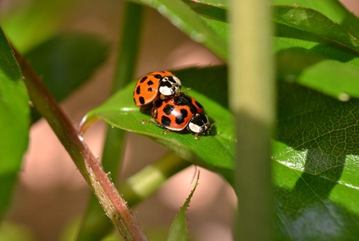 A pair of unusual ladybirds mating