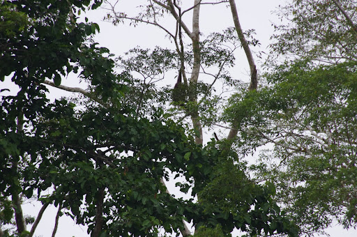 An orangutan is hanging in this tree - can you spot him?