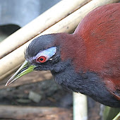 blue-faced-rail.JPG