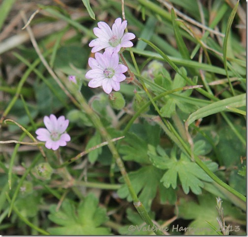 44-Dovesfoot Crane's-bill