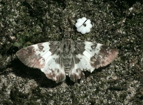 Hesperiidae : Polyctor polyctor PRITTWITZ, 1868. Sertao de Barra do Una (Sao Sebastiao, SP). 17 février 2012. Photo : J.-M. Gayman