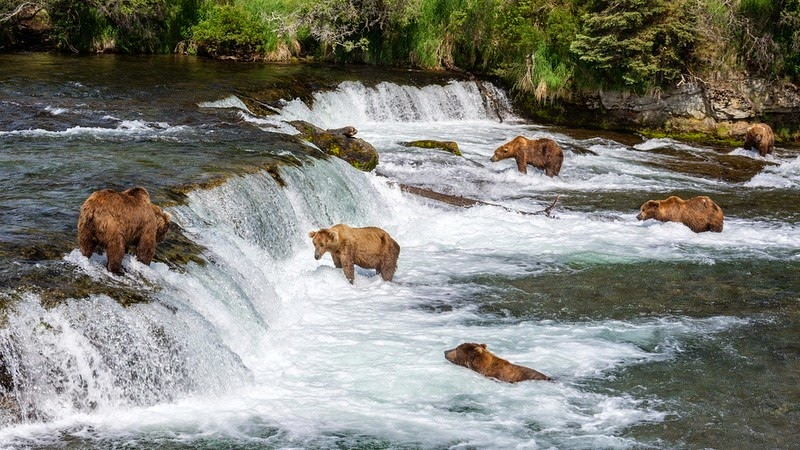 brooks-falls-bears-5