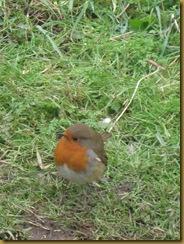 IMG_0690 Robin