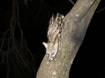 The genet was quite an attention seaker - he really wanted a snack!