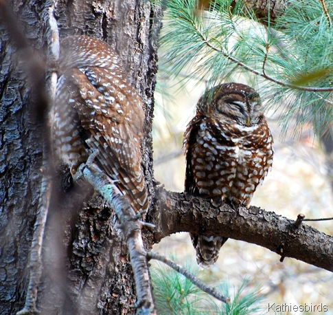 1. spotted owls-kab