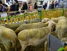 2015.02.26-089 moutons Lacaune