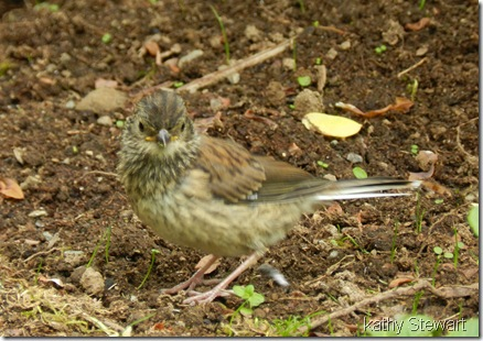 Fledgling Junco