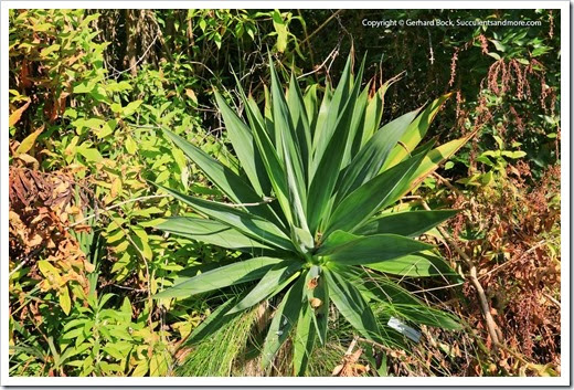 131230_UCBG_Beschorneria-albiflora_001