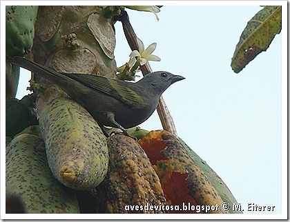 Tangara palmarum . Foto: M. Eiterer