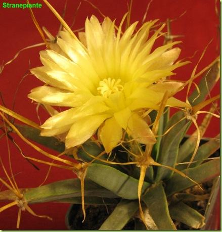 Leuchtenbergia principis flower