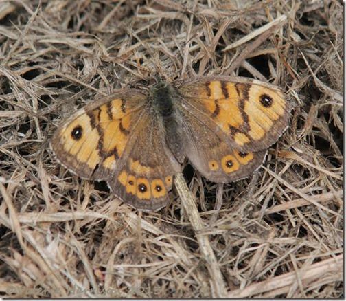 75-wall-butterfly