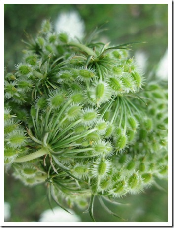 20120802_wild-flowers_008
