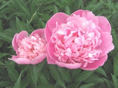 Spring 2012 dads pink double peonies w ant2