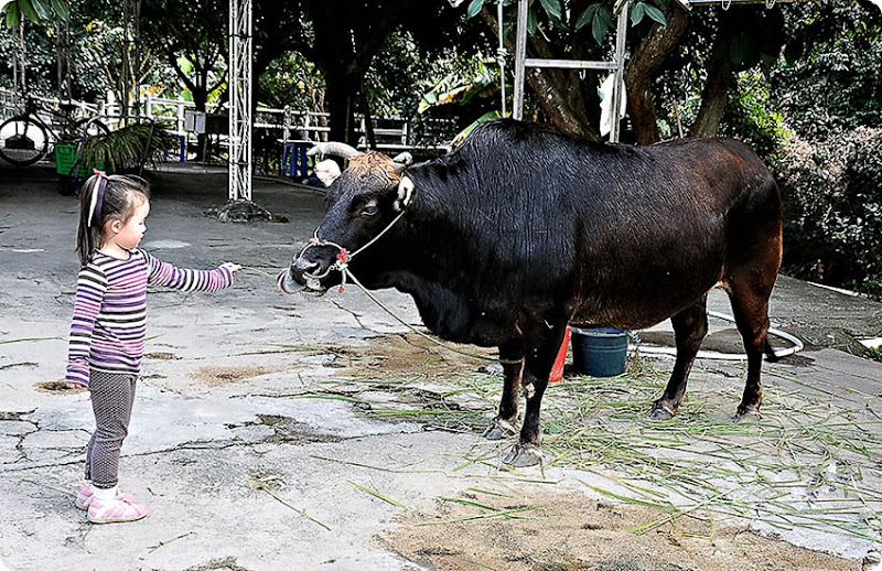 zoe-feeding-ox