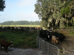 feed cows 035