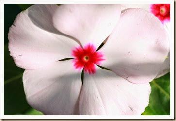 pink vinca