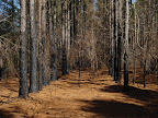 Growing Season burns help to manage woody shrubs and encourage the growth the growth of the  herbaceous layer
