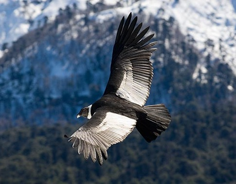 Andean Condor 01