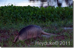 Armadillo at Wickham