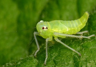 Amazing Pictures of Animals, photo, Nature, exotic, funny, incredibel, Zoo, Leafhopper, Insecta, Alex (17)