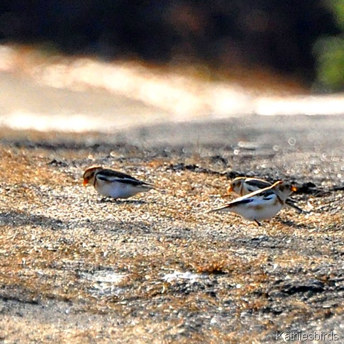 DSC_0599 Snow buntings-kab