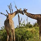 Ruaha Nationalpark, Giraffen © Foto: Ulrike Pârvu | Outback Africa Erlebnisreisen