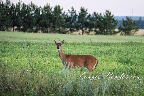 Deer July
