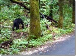 Roaring Fork Bear