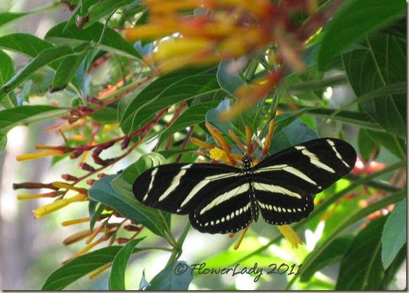 07-20-zebra-longwing