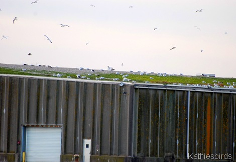 7. more gulls-kab