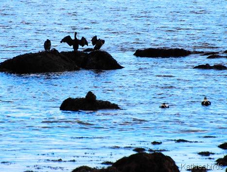 2. Cormorants-kab
