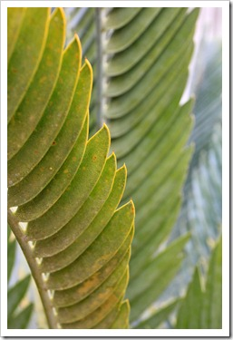 121228_UCBotGarden_Encephalartos-horridus-x-longifolius_05
