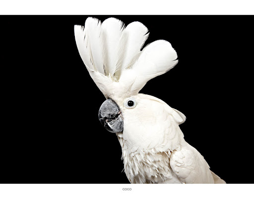 Coiffed Cockatoo Coco... (See link in post for details on Coco who is at The Humane Society of New York) Photo by Richard Phibbs