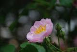 Qingdao - Badaguan - Rose parfumée