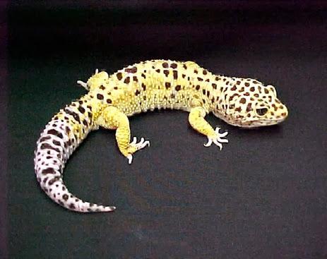 Amazing Pictures of Animals, Photo, Nature, Incredibel, Funny, Zoo, Eublepharis macularius, Leopard gecko, Alex (4)